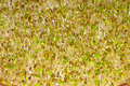 Alfalfa-sprouts Royalty Free Stock Photos