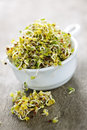 Alfalfa sprouts in a cup Royalty Free Stock Photo