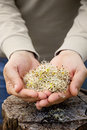 Alfalfa sprouts heathy eating food in farmers hands Stock Photo