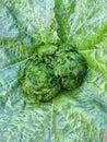 Alga is a healthy food Royalty Free Stock Photo