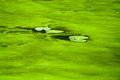 Alga at a river during summer time Royalty Free Stock Images