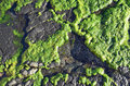 Algae growth on rock at Divers Cove Beach in Laguna Beach, California. Royalty Free Stock Photo