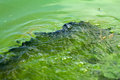 Algae polluted water green scum see my other works in portfolio Stock Photo