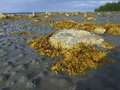 Algaes and  stones on the coast. Royalty Free Stock Photo