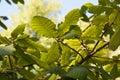 Algerian Oak Royalty Free Stock Photo