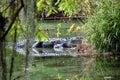 Aligator in Swamp Garden in North Carolina Royalty Free Stock Photo