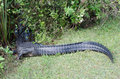 An aligator tail Royalty Free Stock Photo