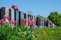 Aligned headstones in a cemetary with pink tulips the foreground Stock Image