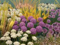 Alium flowers at chelsea flower show beautiful blooms Royalty Free Stock Image