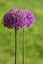 Alium onion flower purple close up shot Stock Photography