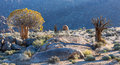 Alive and dead quiver trees richtersveld south africa Stock Image