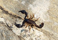 Alive scorpion Royalty Free Stock Photo