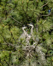 All beaks open herons in a nest with their in north idaho Stock Images
