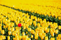 All yellow tulips one red Stock Photography