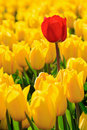 All yellow tulips one red Stock Image