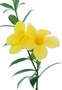 Allamanda, beautiful yellow flower Royalty Free Stock Photography