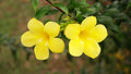 Allamanda floewrs golden trumpet flowers Stock Photo