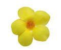 Allamanda flower isolated on white Stock Photography