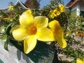 Allamanda flowers yellow Royalty Free Stock Photo