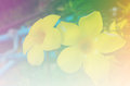 Allamanda or golden trumpet Royalty Free Stock Photo