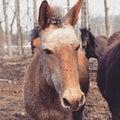 Allen The Mule