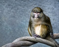 Allen`s Swamp Monkey Royalty Free Stock Photo