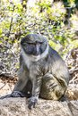 Allen Swamp Monkey on Rock Royalty Free Stock Photo