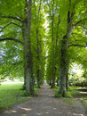 Alley of ancient lime trees in summer Stock Image