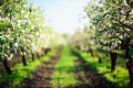 Alley of blooming apple trees in sunset defocused Royalty Free Stock Photo