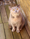 Alley cat photo of a beautiful pedigree british shorthair sitting on decking boards in the garden waiting for a tasty morsel to Royalty Free Stock Photos