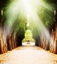 Alley with century old trees under sun light Royalty Free Stock Photo