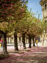 A alley of cherry trees in würzburg in the garden of the residence including some tourists Royalty Free Stock Photo