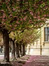 A alley of cherry trees in würzburg in the garden of the residence with the old castle in the background Royalty Free Stock Photo