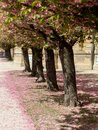 A alley of cherry trees in würzburg in the garden of the residence Royalty Free Stock Photo