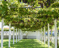 Alley with grape vine covered pergola in montenegro gazebo creeping Stock Photos