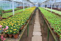 Alley in the greenhouse inside and ordered rows of ornamental flowers and plants Stock Photo