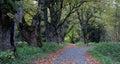 Alley of old maples near nova hurka in sumava national park czech republic Royalty Free Stock Image