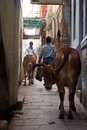 Alley in varanasi people walk past cows a narrow the old city of is a network of narrow alleys which cars cannot fit Stock Images