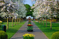 Alley with white blooming trees (Prunus triloba) Royalty Free Stock Photo
