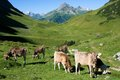 Allgäuer alpen germany pasture with cows in Royalty Free Stock Images