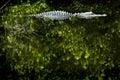 Alligator Royalty-vrije Stock Fotografie