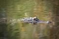 Alligator am�ricain Images libres de droits