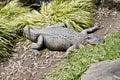 Alligator close up