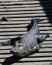 Alligator On The Dock Sunbathing