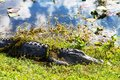 Alligator in everglades np florida Royalty Free Stock Photo