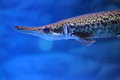 Alligator gar Royalty Free Stock Photo