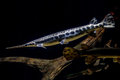 Alligator gar fish underwater close up macro Royalty Free Stock Photo