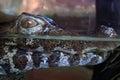 Alligator head Royalty Free Stock Photo