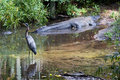 Alligator and Heron Stock Images