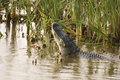Alligator mating call Royalty Free Stock Images